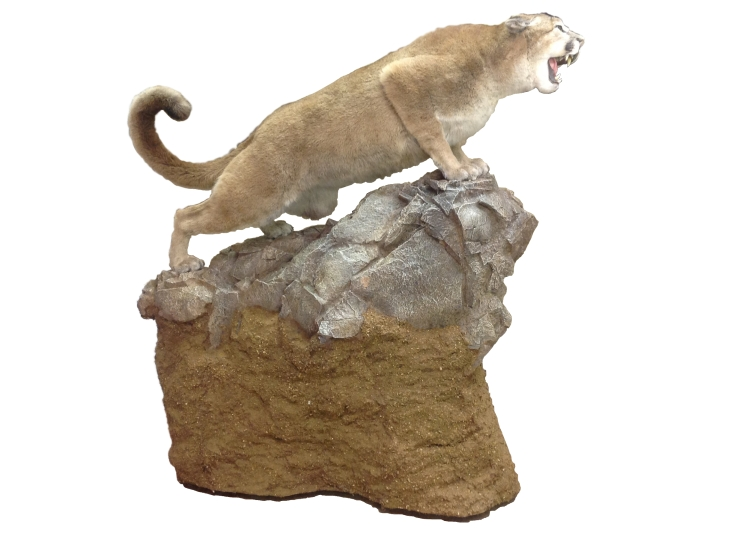 Taxidermy Mountain Lion Stage 3